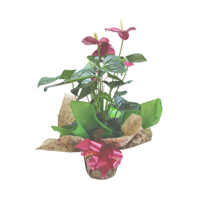 Anthurium natural