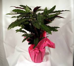 Calathea Webstar